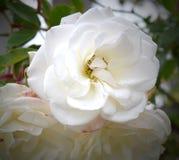 Fleur blanche magnifique rougeoyant avec la beauté et la majesté photographie stock libre de droits