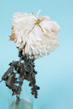 Fleur blanche meurtrie de chrysanthème photos stock