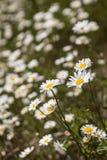 Fleur blanche ou commune de Daisy Bellis Perennis Image libre de droits