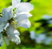 Fleur blanche ouverte d'Apple Photographie stock