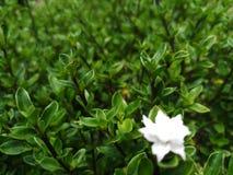 Fleur blanche parmi les feuilles vertes image libre de droits
