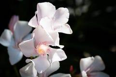 Fleur blanche près de la mer Photographie stock libre de droits