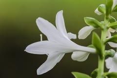 Fleur blanche, Prague, CZ Photos stock