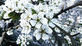 Fleur blanche pure de pomme photographie stock libre de droits