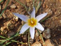 Fleur blanche ramifiée avec un cercle jaune à l'intérieur Photo libre de droits