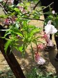 Fleur blanche rosâtre Images libres de droits