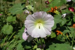 Fleur blanche rosâtre pâle de rose trémière images libres de droits