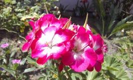 Fleur blanche rouge de l'Equateur Photographie stock libre de droits