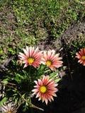 Fleur blanche, rouge et jaune Photo stock