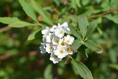 Fleur blanche sauvage Photos stock