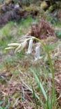 Fleur blanche sauvage de jacinthe des bois photo libre de droits