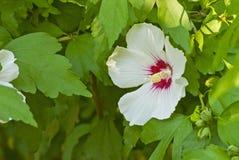 Fleur blanche sensible de ketmie Image libre de droits