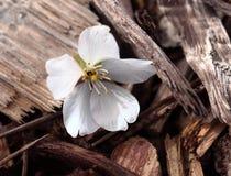 Fleur blanche simple Photo libre de droits