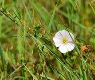 Fleur blanche simple Images stock