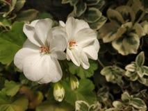 Fleur blanche subtile photos libres de droits