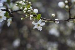 Fleur blanche sur l'arbre Photos stock