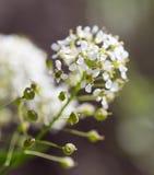 Fleur blanche sur l'herbe sur la nature Image stock