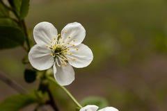 Fleur blanche sur la branche photos stock