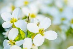 Fleur blanche sur la couleur en pastel douce Fond de source Photos libres de droits