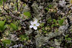 Fleur blanche sur les brindilles envahies par lichen d'un cerisier Photos stock