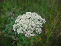 Fleur blanche sur un champ Images stock