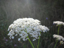 Fleur blanche sur un champ Photos libres de droits
