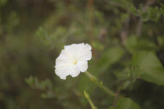 Fleur blanche sur un fond vert brouillé Images libres de droits