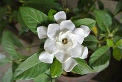 Fleur blanche thaïlandaise une détente d'odeur Photographie stock libre de droits