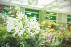 Fleur blanche tropicale, Sampaguita Photographie stock libre de droits