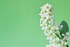 Fleur blanche une cerise d'oiseau Photographie stock