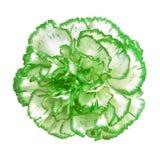 Fleur blanche verte d'oeillet d'isolement sur le fond blanc Plan rapproché Photo libre de droits