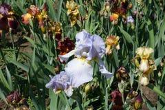 Fleur bleu-clair d'iris germanique images libres de droits