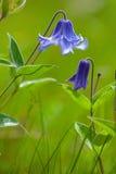 Fleur bleu-foncé de pré Images libres de droits