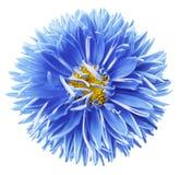 Fleur bleu-jaune d'aster d'aquarelle d'isolement sur le fond blanc avec le chemin de coupure sans ombres Plan rapproch? photos stock