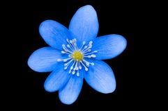 Fleur bleue Photographie stock libre de droits
