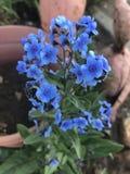 Fleur bleue Photographie stock