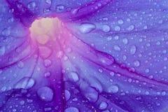 Fleur bleue avec des baisses de rosée images libres de droits