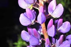 Fleur bleue avec une baisse de rosée Image libre de droits