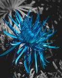 Fleur bleue contre noir et blanc Photos libres de droits