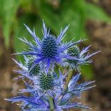 Fleur bleue d'étoile de cobalt d'Eryngium avec des transitoires dans le jardin dehors Photographie stock libre de droits