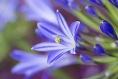 Fleur bleue d'Agapanthus Images libres de droits