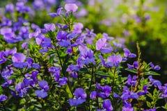 Fleur bleue d'Hawaï dans le jardin Photo stock