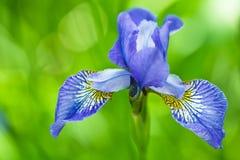 Fleur bleue d'iris en jour Photographie stock libre de droits