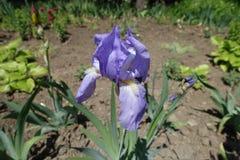 Fleur bleue d'iris germanique photographie stock libre de droits