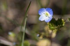 Fleur bleue d'oeil du ` s d'oiseau d'usine de Veronica à un arrière-plan vert image libre de droits