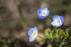 Fleur bleue d'oeil du ` s d'oiseau d'usine de Veronica à un arrière-plan vert images libres de droits