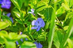 Fleur bleue dans l'herbe Photo libre de droits
