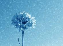 Fleur bleue dans la neige photo stock