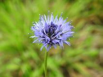 Fleur bleue dans le domaine, Lithuanie Photos stock