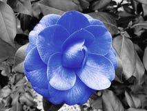 Fleur bleue de camelia photo libre de droits